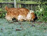 Golden cocker spaniel sniffing in the garden