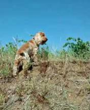Cocker Spaniel looking for rabbits in the vineyards!