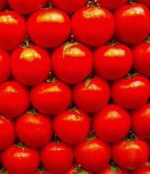 Rows of shiny red tomatoes
