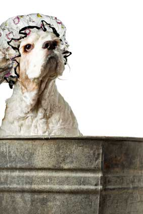 Buff American cocker spaniel in tin bath, wearing shower cap