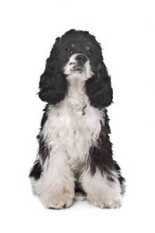 Cute, black and white American cocker spaniel, sitting.