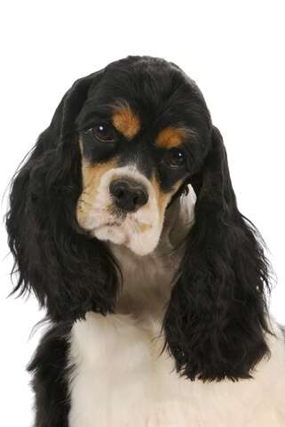 Don't let this lovely American cocker spaniel fall foul of rat poison - keep it out of harm's way!