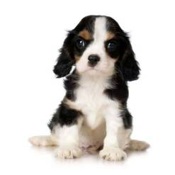 Black, tan and white cocker spaniel puppy with quizzical expression - cute!