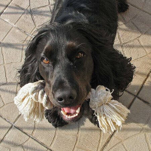 Black and white cocker spaniel adult dog