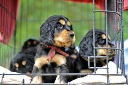 Black 'n' tan cocker spaniel puppies in their crate.