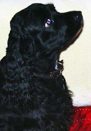 Black cocker spaniel puppy in training, paying attention.