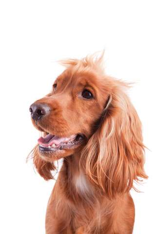 Golden cocker spaniels make good family dogs!