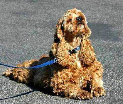 Golden cocker spaniel in the down position, head held high