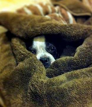 Puppy peeking out of a dog blanket being used as his bed