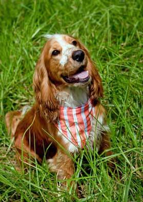 Golden cocker spaniel puppy being trained, wearing red neckchief