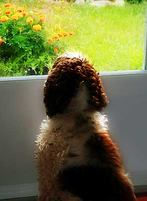 Red and white cocker spaniel sitting at door, waiting to go potty