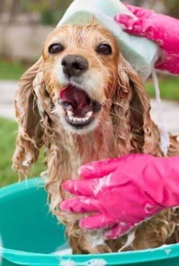 Bathing a dog outside in a bucket, loads of lovely soapy bubbles!