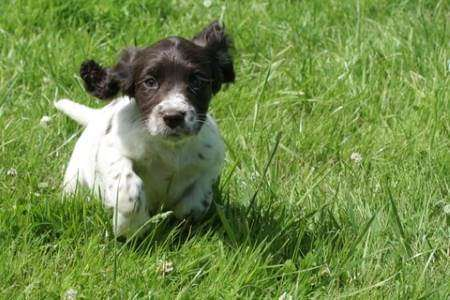 Black and white cocker spaniel puppy running through meadow on a sunny day