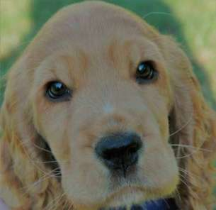 Cute face of Max, my golden cocker spaniel