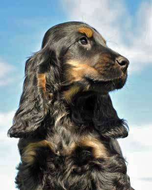 Black and tan Cocker Spaniel with a background of blue sky and light cloud