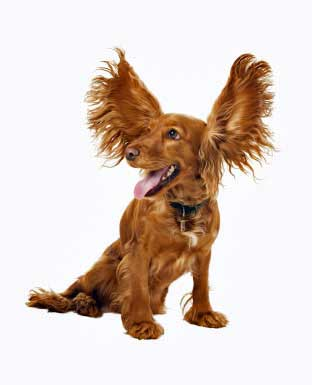 Discover the symptoms of dog ear infections and keep your Cocker Spaniel safe.
