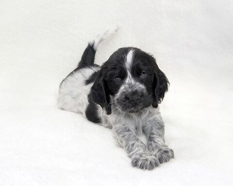 Cute little cocker spaniel puppy, blue roan, lying down, tail up