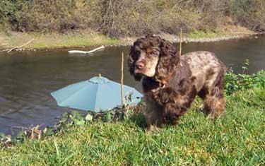 Brown roan cocker spaniel playing with her ball