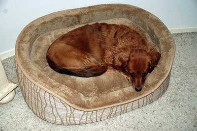 Liver colored dog curled up in his bed