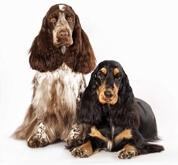 Two beautifully groomed dogs - cocker spaniel grooming at its best!