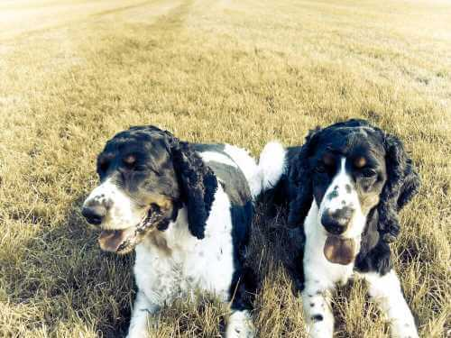 Two well fed, well exercised, happy, healty cocker spaniels