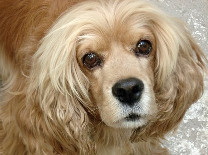 Golden cocker spaniel with large appealing brown eyes.