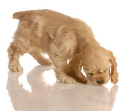 Beautiful golden cocker spaniel puppy chasing piece of kibble