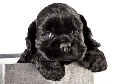 Cute black cocker spaniel puppy with paws over edge of planter