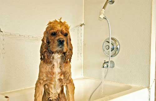 Cocker spaniel trying to get out of the bath - I don't think he enjoys his bath time.