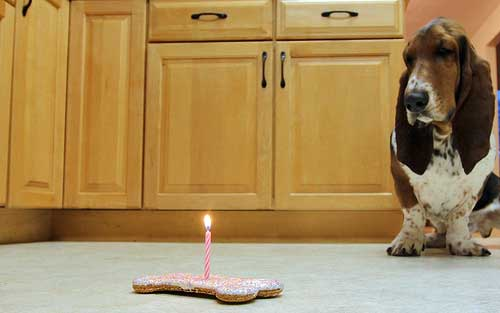 Dog looking at a gourmet dog biscuit with a lighted candle in center