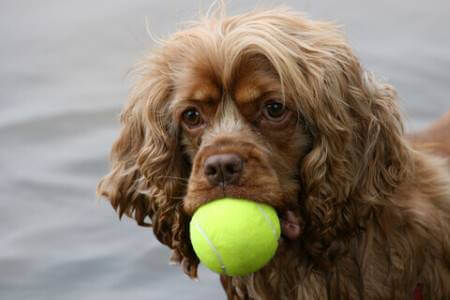 Chocolate cocker spaniel with orange ball in his mouth - he just love's puppy games!