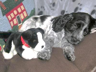 Gorgeous cocker spaniel puppy almost asleep with his soft toy