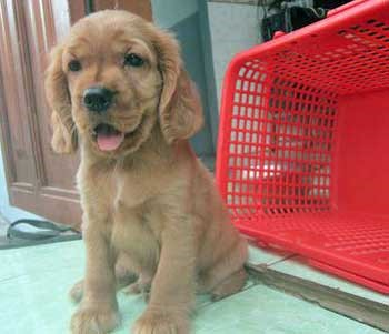 Cute golden cocker spaniel puppy sitting by a red plastic basket