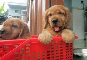 Golden cocker spaniel puppies sitting in a red plastic basket.