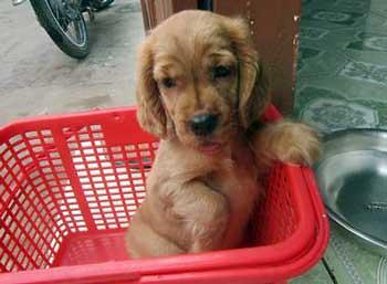 Cute golden cocker spaniel puppy, Gordy, sitting in a red washing basket.