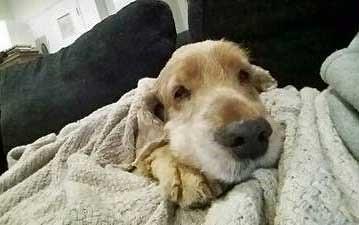 Senior cocker spaniel, Jelly, snug in his bedding.