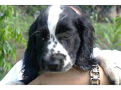 Sophie Ellis, a beautiful black and white cocker spaniel puppy being held by her owner.