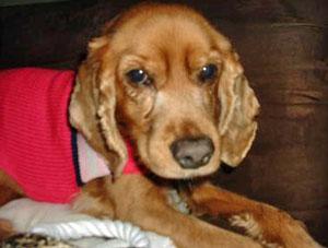 Cocker Spaniel rescue dog, Princess Zoi