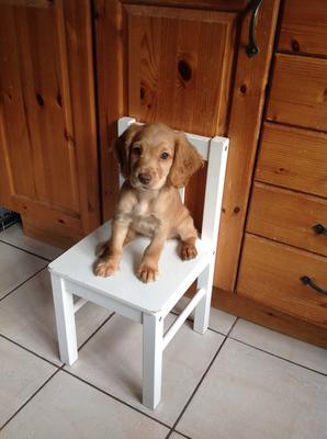 Cute golden cocker spaniel puppy sitting on a white kitchen chair