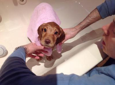 Golden cocker spaniel puppy being bathed, wearing a pink towel