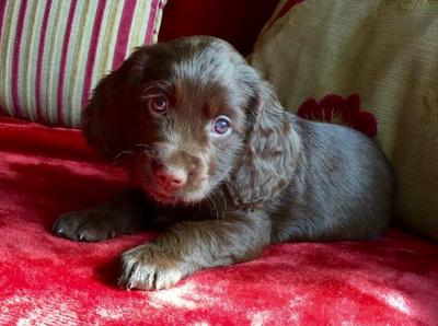 Juno, a beautiful chocolate cocker spaniel puppy, lying on a pink blanket