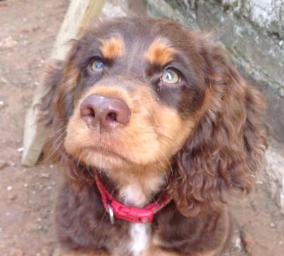 Meet naughty Hector, a beautiful brown and tan cocker spaniel puppy