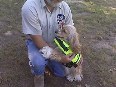Cocker spaniel wearing a fluorescent life vest