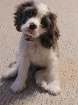 Beautiful chocolate and white cocker spaniel puppy with his head tipped to one side.