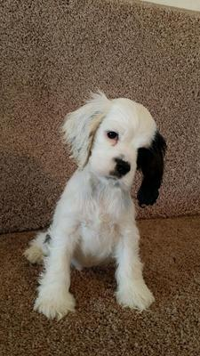 Cute white cocker spaniel puppy with one black ear and a little black eye