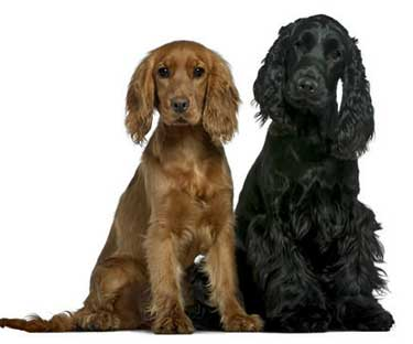 Golden cocker, and black cocker spaniel sitting, well behaved
