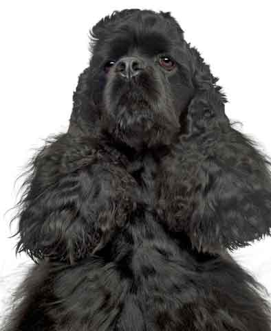 Black American cocker spaniel - such a handsome boy!