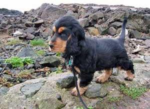 Gorgeous black and tan cocker spaniel puppy, amber