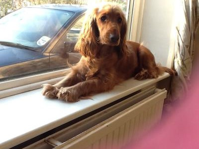 Golden cocker spaniel lying on the window cill