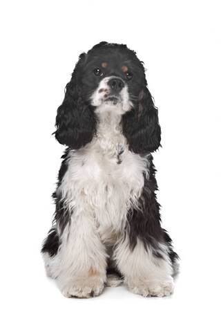 American cocker spaniel, sitting, cute